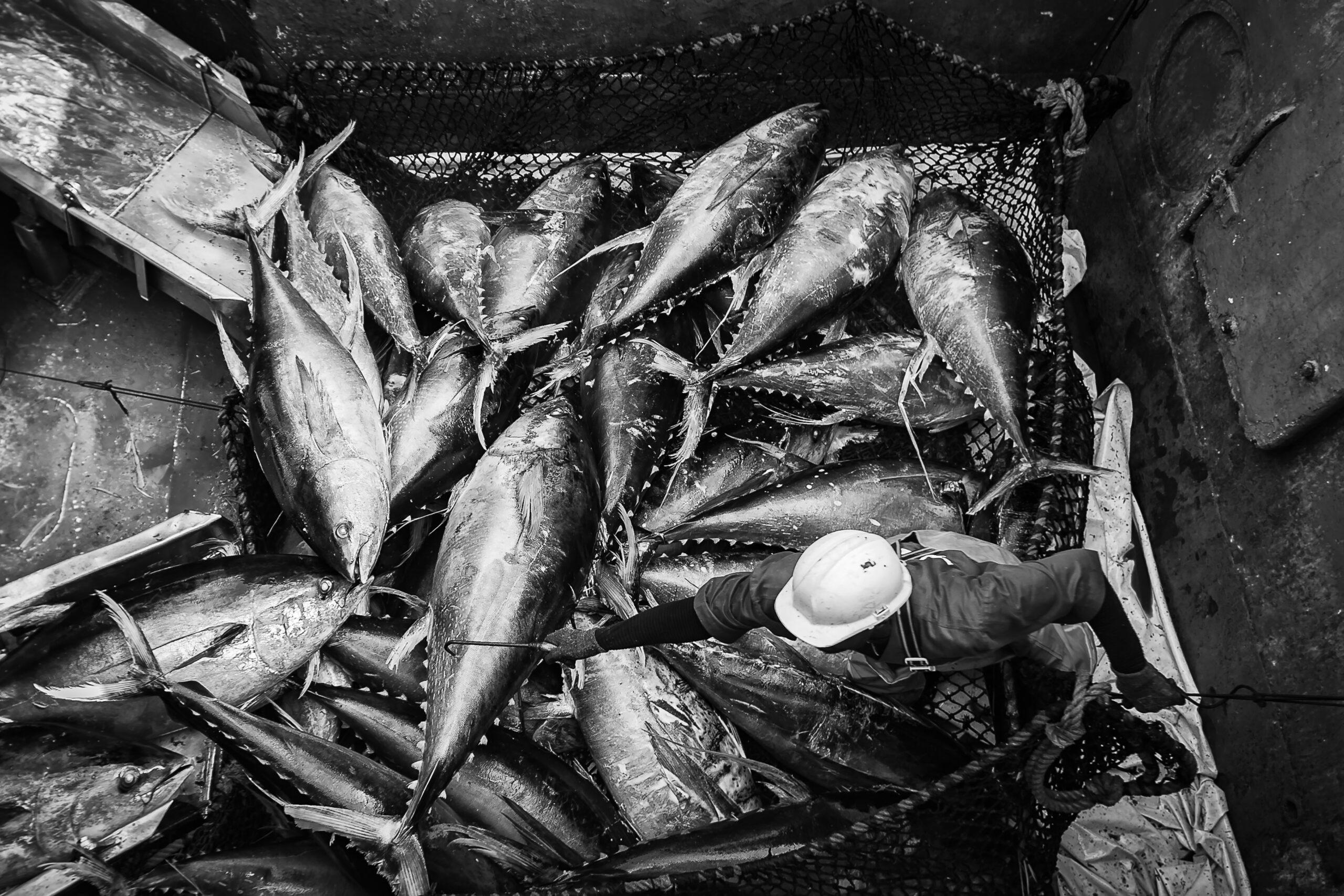 Primer Premio. Categoría: Mejor trabajo en el exterior (Serie). Un marinero trabaja en la bodega de un atunero de bandera francesa en las tareas de descarga de atún en el puerto de Adbijan, Costa de Marfil. La flota francesa, actualmente desplegada por el Atlántico y el océano Índico, desembarca cada año más de 120 mil toneladas de atún, principalmente dedicadas a la industria de la conserva. Nando Rivero